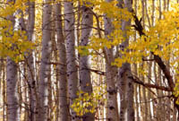 Aspen Trunks in Walker Canyon, E. Sierra